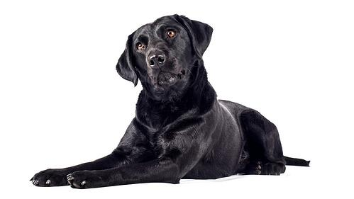 Black Labrador Retriever laying down tiling head to the left